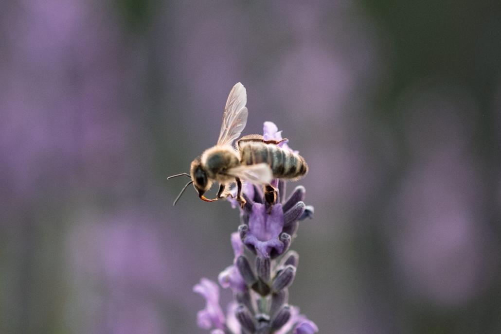 abeilles sur une fleur de lavande
