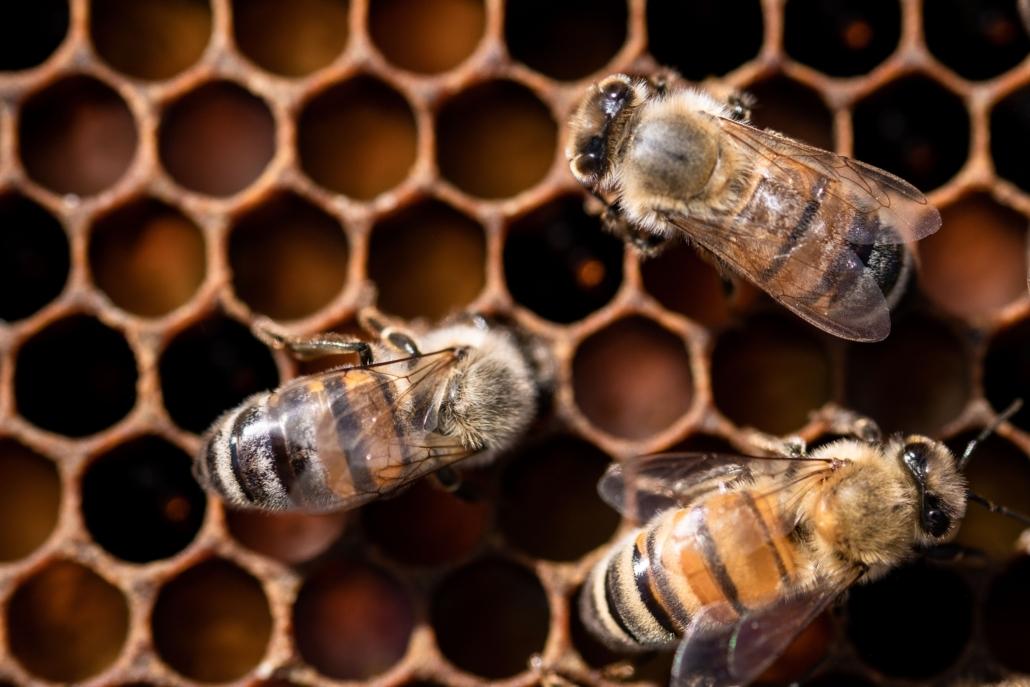 abeilles sur une alvéole